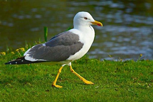 Seagull, Sea Bird, Animal, Feather, Plumage, Beak, Leg