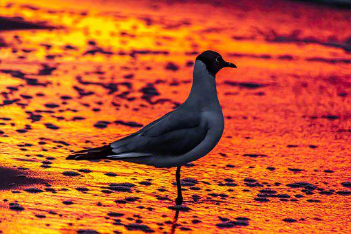 Seagull, Afterglow, Evening Sun, Sunset, Shadow, Red