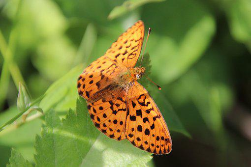 Butterflies, Insects, Orange, Spotted, Nature, Spring