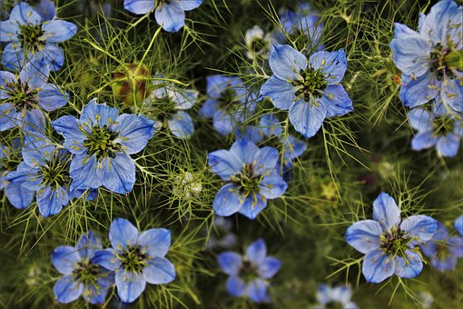 Czarnuszka, Blue, Plant, Love-in-a-mist, Flora, Stem