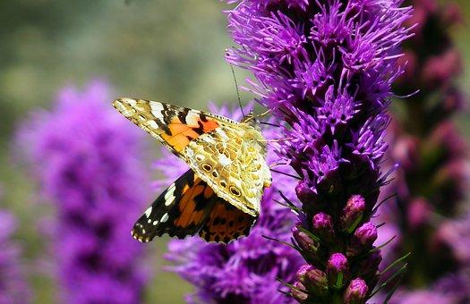 Butterfly, Insect, Flowers, Latria Kłosowa, Summer