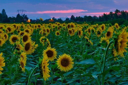 Sunflowers, Sunset, Nature, Sky, Sunflower, Summer, Sun