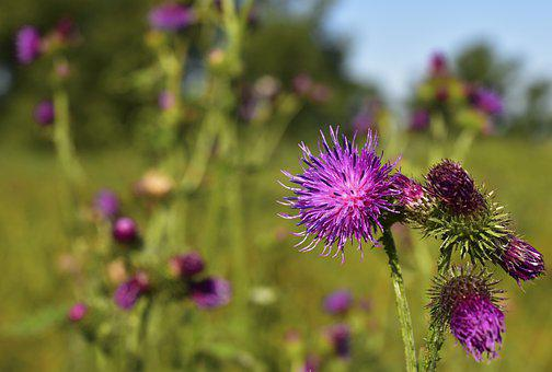 Thistle, Thistle Flower, Blossom, Bloom, Thorns, Spur