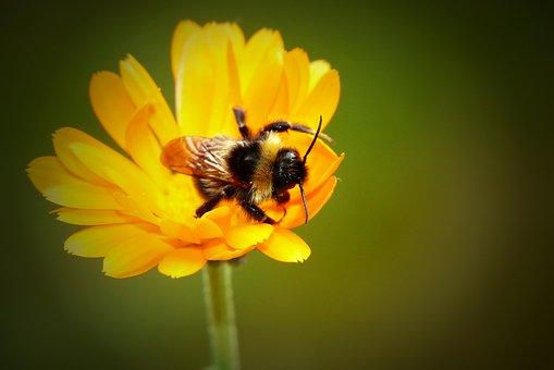 Bumblebee Gas, Tom, Pszczołowate, Apiformes, Antennae