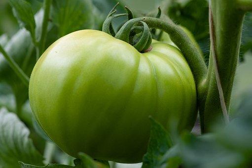 Green, Tomato, Food, Vegetables, Fresh, Healthy, Garden