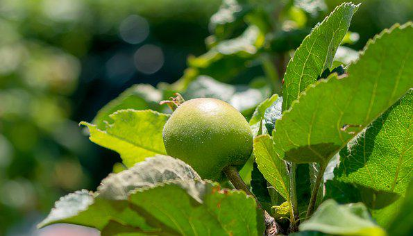 Apple, Growth, Nature, Tree, Fruit, Healthy, Garden