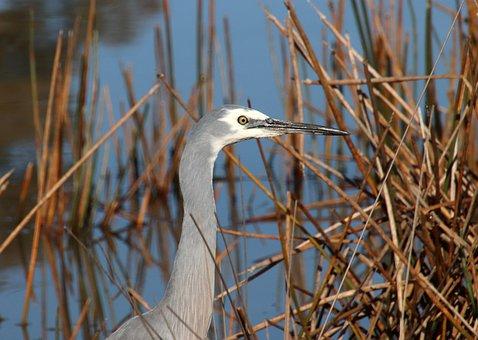 Bird, Heron, Reeds, Lake, Wildlife, Nature