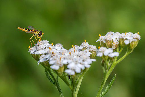 Hover Fly, Yarrow, Meadow, Nature, Close Up