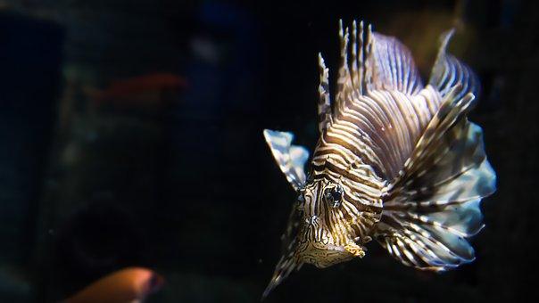 Fish, Lionfish, Exotic, Toxic, Aquarium, Dangerous