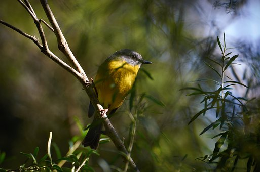 Yellow Breasted Robin, Birds, Australian, Wildlife