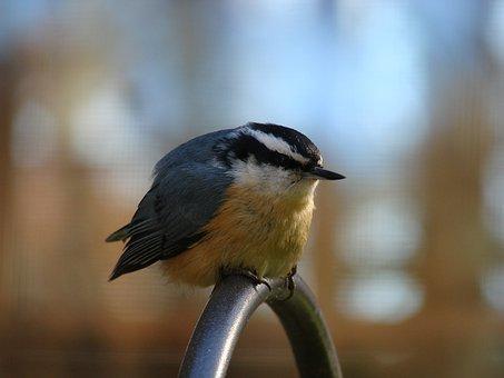 Bird, Red-breasted, Nuthatch, Birding