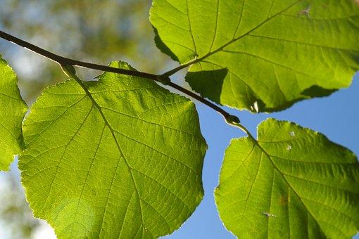 Leaf, Green, Branch, Back Light, Hazelnut Leaf