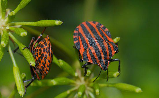 Strip Bug, Bug, Beetle, Insect, Striped, Macro, Nature