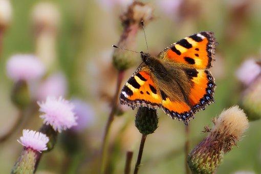 Animals, Butterfly, Little Fox, Insect, Butterflies