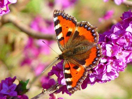 Butterfly, Little Fox, Aglais Urticae
