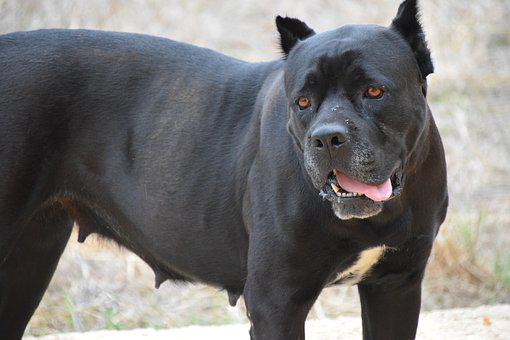 Dog, Fighting Dog, Cane Corso, Canecorso, Close Up