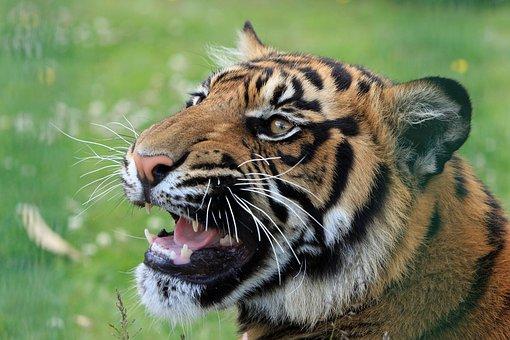 Tiger, Snarling, Close-up, Head, Face, Portrait, Cat