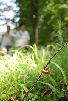 Cicada, Shell, Twig, Animal, Brown, Exoskeleton, Skin