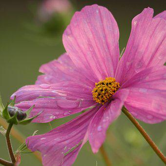 Cosmos, Pink, Close, Violet, Cosmea, Blossom, Bloom