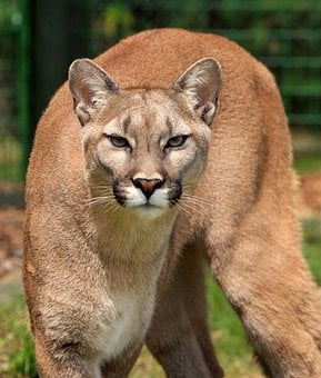 Cougar, Mountain Lion, Puma Concolor, Big Cat, Feline
