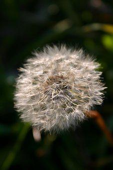 Dandelion, Seeds, Nature, Meadow, Pointed Flower