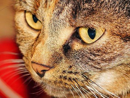 Cat, Head, Female, Cat Face, Domestic Cat, Cat's Eyes