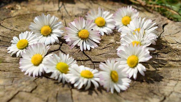 Daisy, Heart, Flowers, Flower Heart, Spring