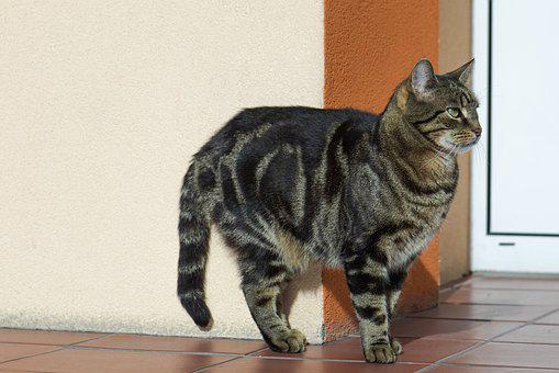 Cat, Tabby, Fur, Domestic Cat, Kitten, Pet