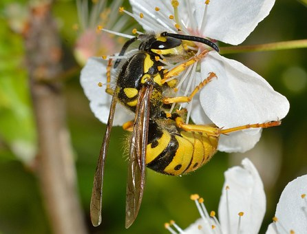 Insects, Hymenoptera, Vespula, Germanica