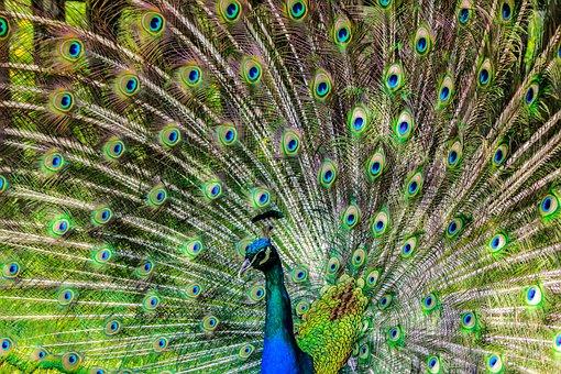 Peacock, Pen, Alluring Yet, Lure, Bird, Green Birds