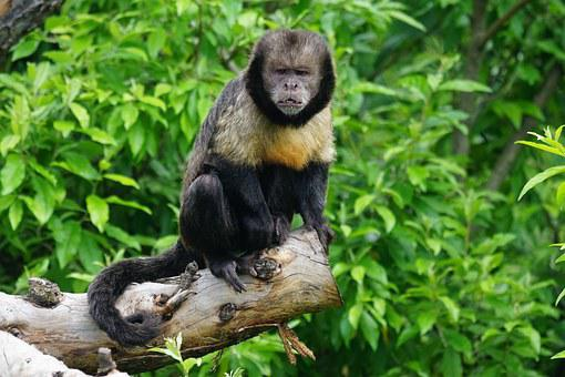 Yellow Breast-capuchin, Monkey, Primate