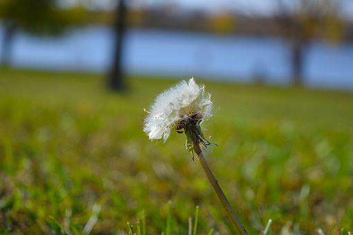 Dandelion, Seeds, Summer, Meadow, Spring, Nature