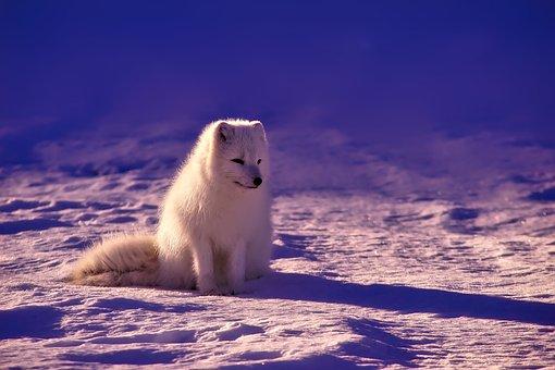 Norway, Fox, Arctic, Animal, Wildlife, Snow, Winter