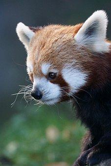 Panda, Red Panda, Fire Fox, Gold Dog, Cute