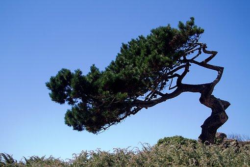 Brittany, Atlantic Coast, France, Pine