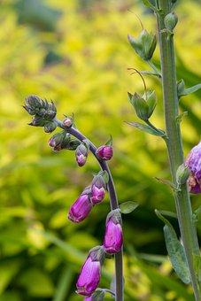 Thimble, Common Foxglove, Plant, Flower, Flowers