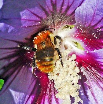 Hibiscus, Hummel, Pollination, Macro, Nectar, Noise