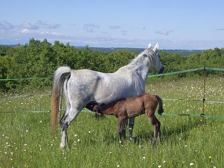 Horse, Foal, Broodmare, Horses, Animals, Prairie