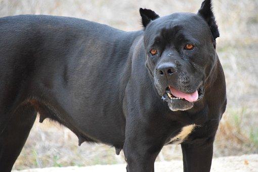 Dog, Fighting Dog, Pitbull, Close, Black, Quiet, View