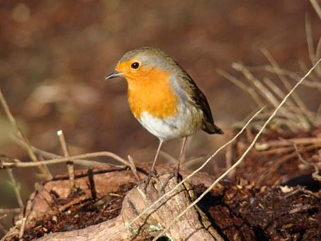 Robin, Bird, Wildlife, Red, Breast, Feather, Winter