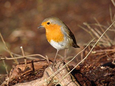 Robin, Bird, Wildlife, Red, Breast, Feather, Winter