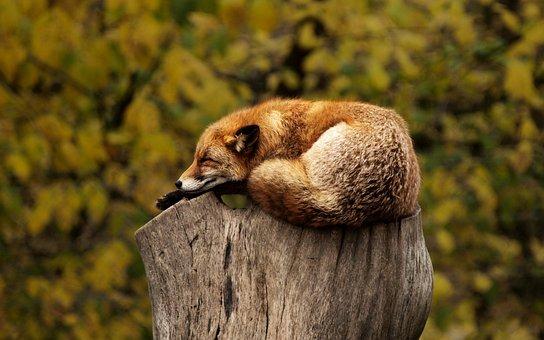 Fox, Tree, Stump, Sleeping, Resting, Relaxing, Red