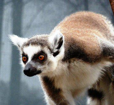 Animal, Monkey, Ring-tailed Lemur, Curious, Smart
