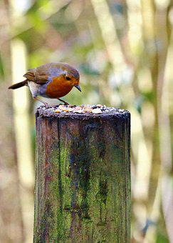 Robin, Bird, Nature, Red, Small, Erithacus, Rubecula