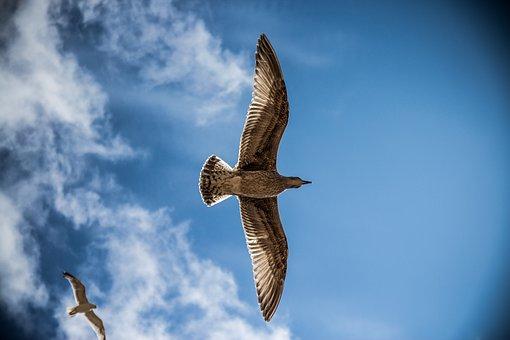 Sea Gull, Bird, Sky, Nature, Gull, Sea, Blue, Seagull