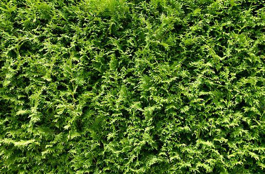 Thuja Hedge, Hedge, Plant, Green, Stuff