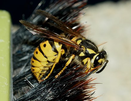 Wasp, Vespula, Germanica, Macro
