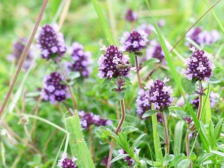 Thyme, Blossom, Bloom, Violet, Wild Plant