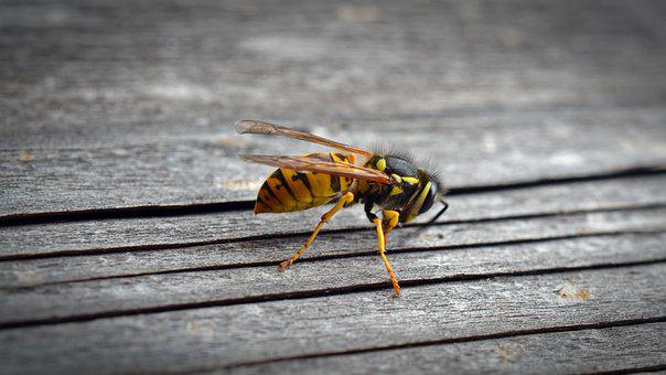 Wasp, Insect, Wood, Animal, Nature, Close