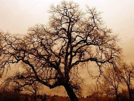 Gnarled Old Oak, Fog, Twilight, Bare Oak Tree, Big Tree